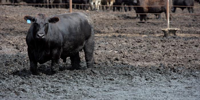 Livestock pollution